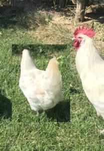 Tavuk Bütün(3,3 -3,7 Kg) 4 Parça dondurulmuş